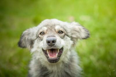 耳を後ろに垂らしてこちらを見つめる犬