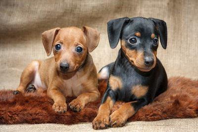 絨毯の上でくつろぐ2匹のミニチュアピンシャーの幼犬
