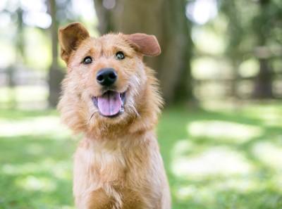 笑顔の長毛の犬、背景に芝生と木