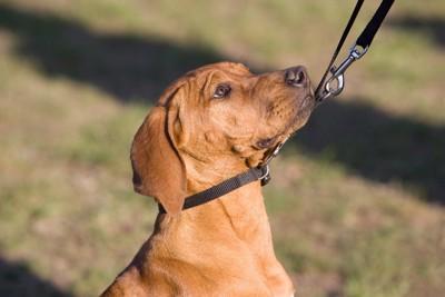 リードを引っ張られている犬
