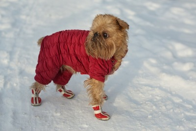 赤いコートと靴を着けた茶色い犬