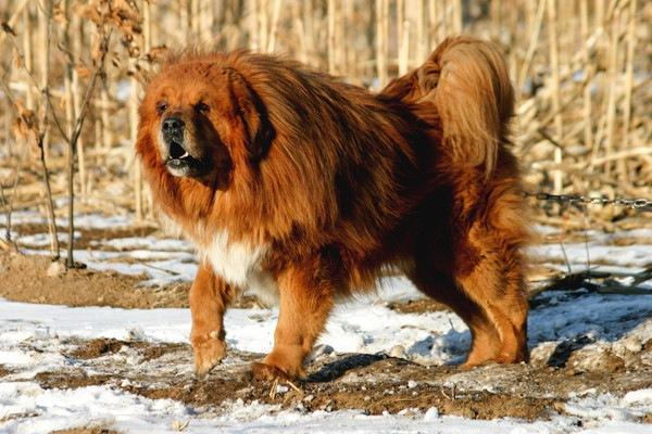 Tibetan Mastiffの全体