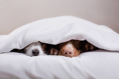 鼻だけ布団から出して寝ている犬たち