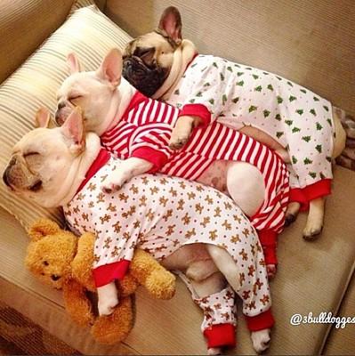フレブル3頭 ベッド パジャマ着てる