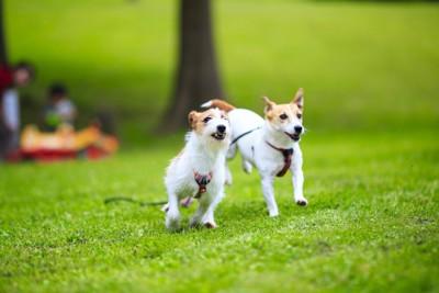 芝生を走る二匹のジャックラッセルテリア