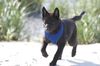 青いハーネスをつけた甲斐犬のパピー