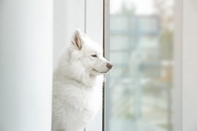 虚ろ気な表情で窓の外を見つめるサモエド