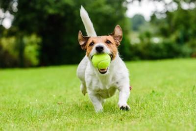 ボールをくわえて尻尾を立てて走る犬