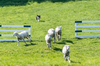 ゲートに羊を入れるボーダーコリー