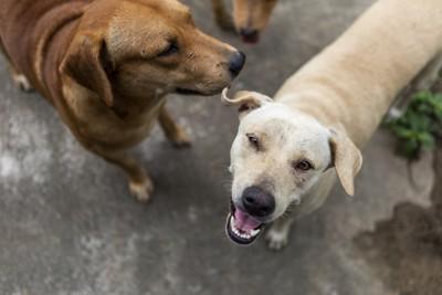 見上げる白っぽい笑顔の犬、横に茶色の犬