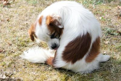 自分の体を舐めている犬