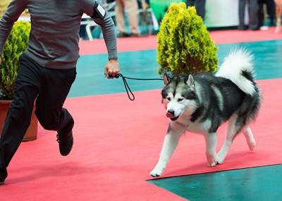ショーに出る犬
