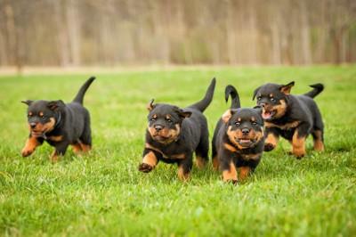 走るロットワイラー四頭の子犬