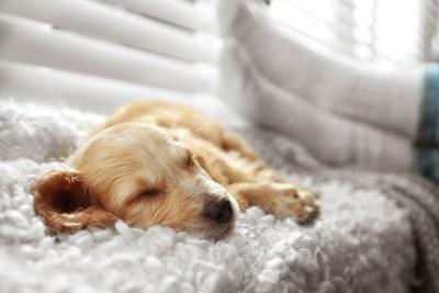 ふかふかのブランケットの上で眠る子犬