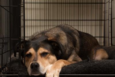 ケージの中で寝ている犬