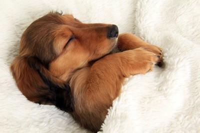 白い毛布で眠る子犬