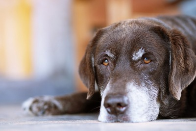眉毛と口元が白い寝そべった茶色の犬