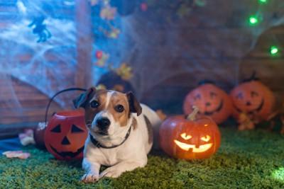かぼちゃの間に伏せている犬