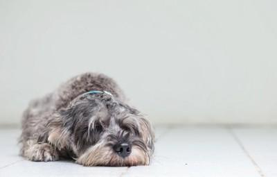 床に顔をつけて寝る犬