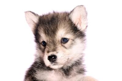 オオカミ犬の子犬