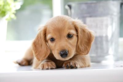 何かを見つめるミニチュアダックスフンドの仔犬