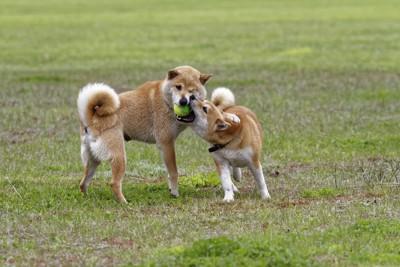 じゃれ合う三頭の犬、ドッグランでの様子