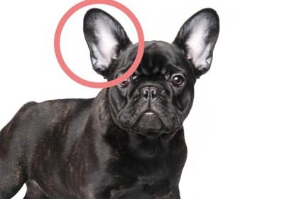 丸みがある大きな耳はフレンチブルドッグ