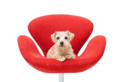 赤い椅子に乗る犬