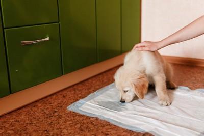 トイレシートにおしっこをして褒められる子犬