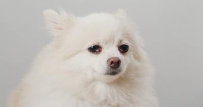 耳を後ろ向きにし、不安げな顔の犬