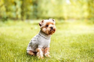 ニット服を着る子犬
