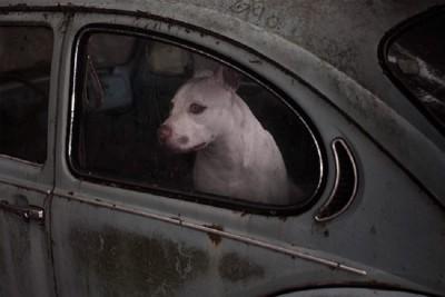 灰色の車の中にいる白い犬