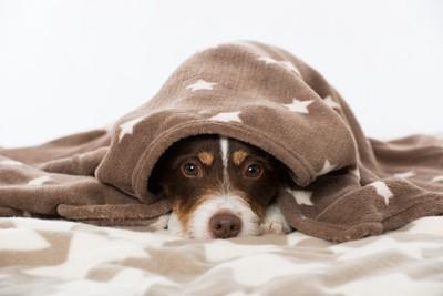 毛布に包まって見つめる犬