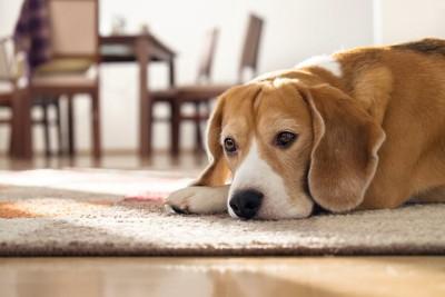 寂しそうに床に伏せる犬
