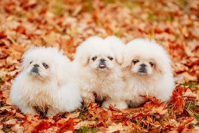 落ち葉の中で寄り添う3匹のペキニーズの幼犬