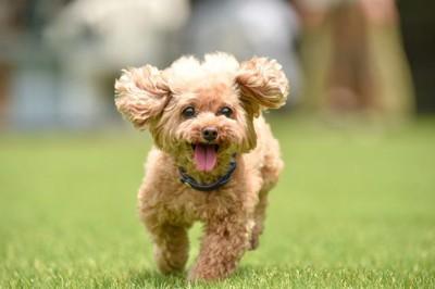 芝生で走るトイプードルの幼犬