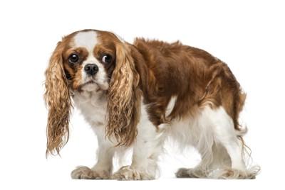 身をすくめて怖がっている犬