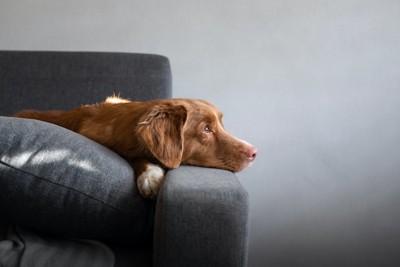 ソファーに寝そべって寂しそうな顔をする犬