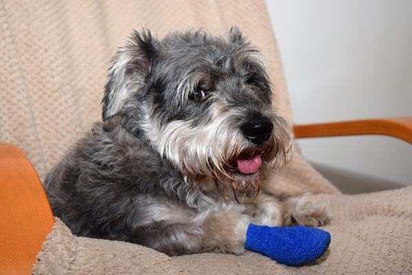 足先に青い包帯を巻いている犬
