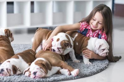 女の子と遊ぶブルドッグの子犬たち