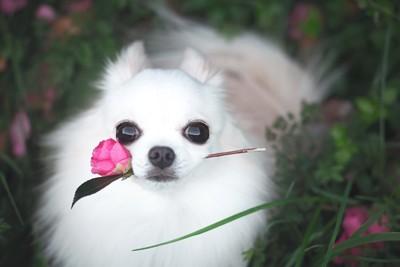花を咥えるロングコートチワワ
