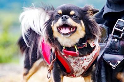 散歩で笑顔のチワワ