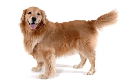 しっぽを上げている犬の写真