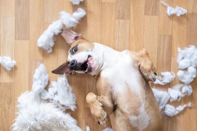 床を散らかして仰向けで遊ぶ犬