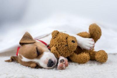 茶色いクマのぬいぐるみを抱いて眠るジャックラッセルテリアの幼犬