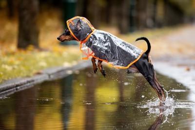 水たまりをジャンプするレインコートの犬