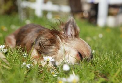 草むらで寝るチワワ
