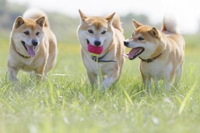 ボールで遊ぶ三頭の柴犬