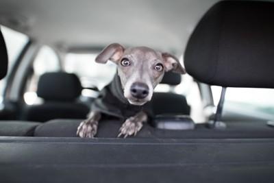 車内から見つめる犬