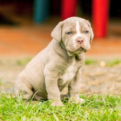 ナポリタン・マスティフの子犬